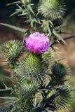 Flor del cardo Fotografía de archivo