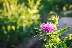 Flor del cardo de algodón Fotos de archivo
