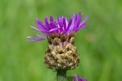 Flor del cardo de arrastramiento imagen de archivo