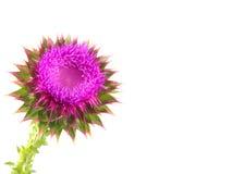 Flor del cardo de leche fotos de archivo