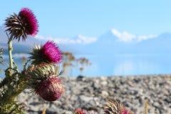 Flor del cardo en el lago y montaña en Nueva Zelanda imagenes de archivo