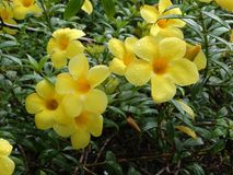 Flor del cathartica del Allamanda foto de archivo libre de regalías