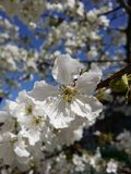 Flor del cerezo Fotografía de archivo