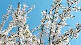 Flor del cerezo y cielo azul en la puesta del sol, fondo floral de la naturaleza almacen de metraje de vídeo