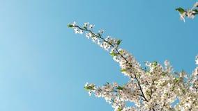 Flor del cerezo y cielo azul en la puesta del sol, fondo floral de la naturaleza metrajes