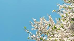 Flor del cerezo y cielo azul en la puesta del sol, fondo floral de la naturaleza almacen de video