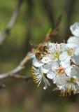 Flor del cerezo y de una abeja de la miel Foto de archivo