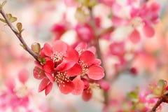 Flor del chaenomeles japon?s fotos de archivo libres de regalías