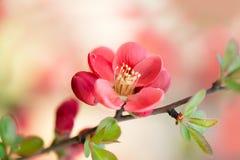 Flor del chaenomeles japon?s imagen de archivo libre de regalías
