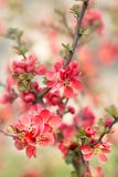 Flor del chaenomeles japon?s imagenes de archivo