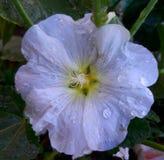 Flor del cielo Fotografía de archivo