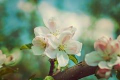 Flor del cierre del Apple-árbol encima de la versión del estilo del inconformista imágenes de archivo libres de regalías