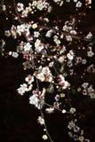 Flor del ciruelo fotografía de archivo