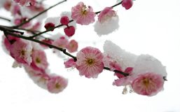 Flor del ciruelo Imagenes de archivo