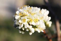 Flor del ciruelo de la primavera Fotos de archivo libres de regalías
