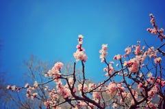 Flor del ciruelo debajo del cielo azul imagen de archivo libre de regalías