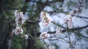 Flor del ciruelo en las ramas de árbol fotos de archivo libres de regalías