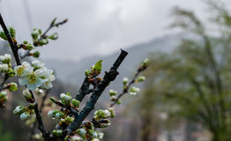 Flor del ciruelo en un día lluvioso en primavera Foto de archivo
