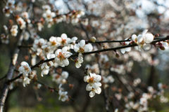 Flor del ciruelo en un día soleado Fotos de archivo libres de regalías