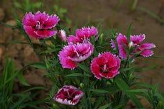 Flor del clavel fotos de archivo