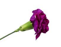 ¡Flor del clavel aislada en el fondo blanco! Imágenes de archivo libres de regalías