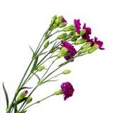 Flor del clavel aislada en el fondo blanco Fotos de archivo