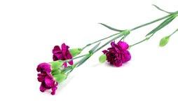Flor del clavel aislada en el fondo blanco Foto de archivo libre de regalías