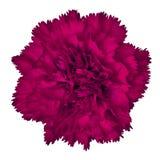 Flor del clavel del amaranto aislada en el fondo blanco Primer imagen de archivo libre de regalías