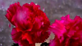 flor del clavel, cámara lenta almacen de metraje de vídeo