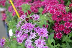 Flor del clavel Diversas flores del clavel Modelo floral Textura de la primavera y del fondo de las flores del verano foto de archivo libre de regalías