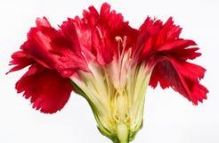 Flor del clavo Imagen de archivo