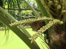 Flor del coco Fotografía de archivo libre de regalías