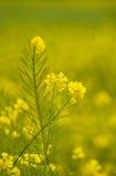 Flor del col Imagenes de archivo