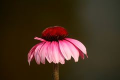 Flor del cono Fotografía de archivo