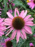Flor del cono Fotos de archivo libres de regalías