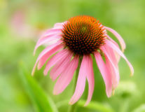 Flor del cono Foto de archivo libre de regalías