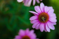 Flor del cono con la abeja Imagen de archivo