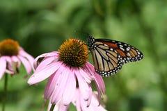 Flor del cono con la mariposa de monarca Fotos de archivo libres de regalías
