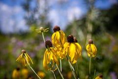Flor del cono de la pradera Imagen de archivo