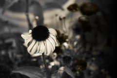 Flor del cono de la sepia Foto de archivo libre de regalías