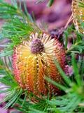 Flor del cono del Banksia Fotos de archivo