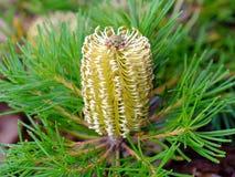 Flor del cono del Banksia Imágenes de archivo libres de regalías