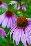 Flor del cono del Echinacea Fotografía de archivo