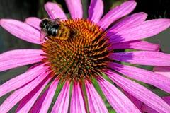 Flor del cono, purpurea del Echinacea Imagen de archivo libre de regalías