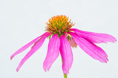 Flor del cono, purpurea del Echinacea Foto de archivo libre de regalías