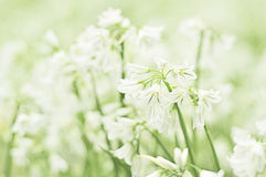 Flor del copo de nieve de verano fotos de archivo libres de regalías
