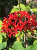 Flor del coral rojo Imágenes de archivo libres de regalías