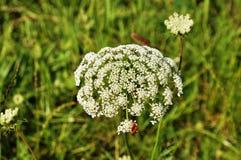 Flor del cordón de la reina Anne con el insecto Fotos de archivo