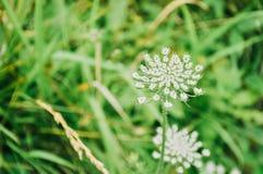 Flor del cordón del ` s de la reina Anne imagen de archivo libre de regalías