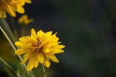 Flor del Coreopsis Fotografía de archivo libre de regalías